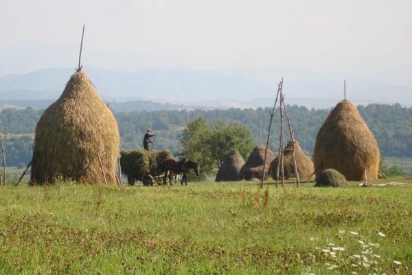 travaux aux champs Roumanie Katia