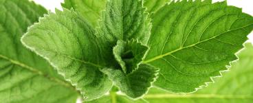 Famille-de-plantes-aromatiques